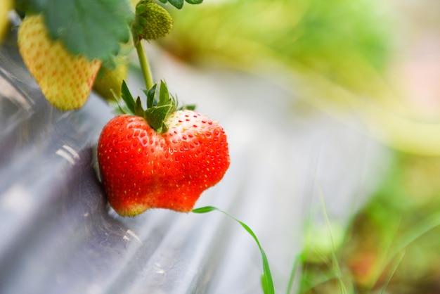 Aardbeienfruitteelt op het aardbeigebied met groen blad in de tuin. plant boom aardbeien boerderij landbouw concept