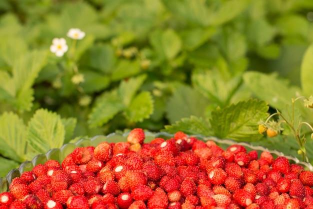 Aardbeienplant met groene bladeren en rijp rood fruit, rode bes - fragaria vesca.
