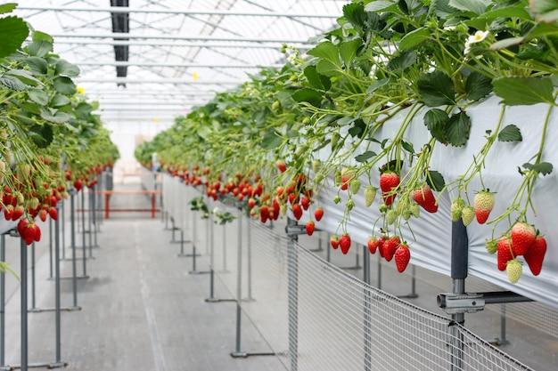 Aardbeifruit in kinderdagverblijfaanplanting in japan