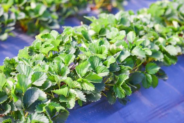 Aardbeigebied met groen blad in de tuin - plant boomaardbeien die in landbouwbedrijflandbouw groeien