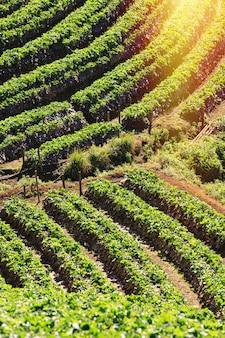 Aardbeilandbouwbedrijf op bergen in hoogland van thailand.