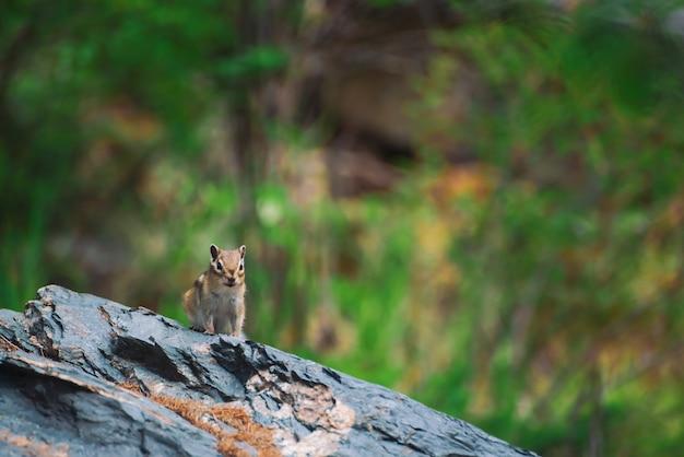 Aardeekhoorn op rots op scène van groen in hooglanden