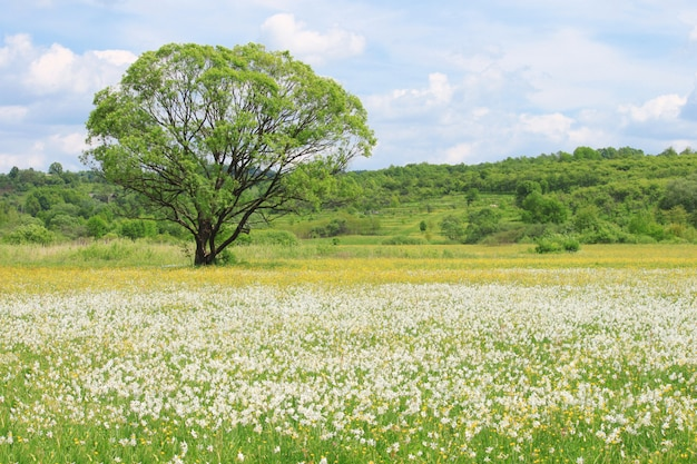 Aardlandschap met bloeiende weide van witte in het wild groeiende narcissenbloemen en één enkele boom in het gebied. narcissus valley in de oekraïense karpaten, khust spring in de bergen.