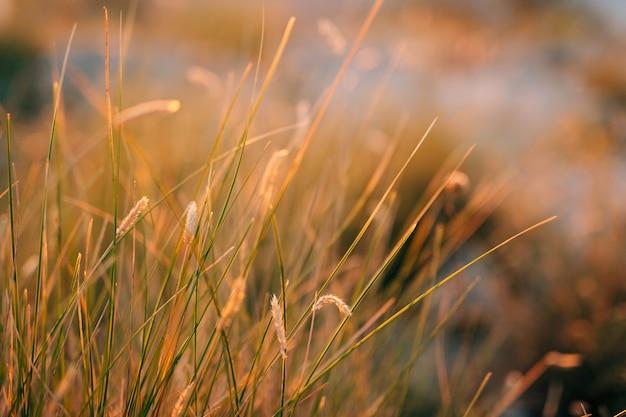 Aartjes in het veld bij zonsondergang de textuur van gras bij zonsondergang