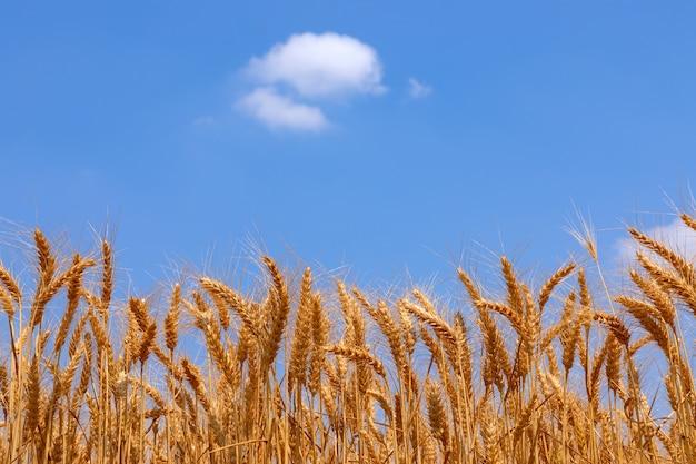 Aartjes van gouden tarwe en blauwe lucht met een eenzame wolk.