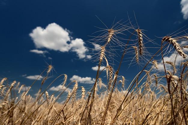 Aartjes van rijp brood op een veld op een zonnige dag tegen een achtergrond van blauwe lucht en witte ...