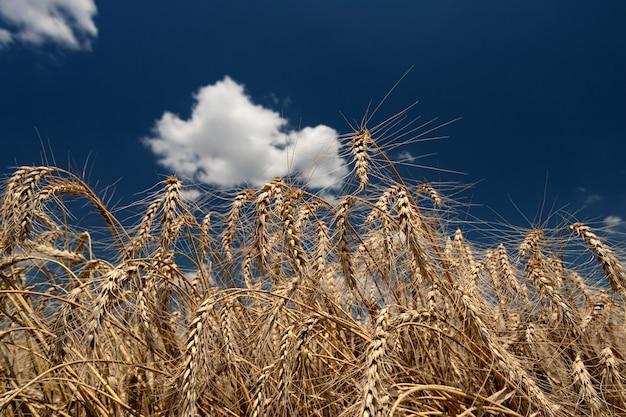 Aartjes van rijp brood op een veld op een zonnige dag tegen een achtergrond van blauwe lucht en witte ... Premium Foto