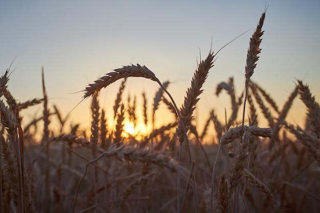 Aartjes van rijpe rogge op een achtergrond van donkerblauwe hemel en de zon bij zonsondergang