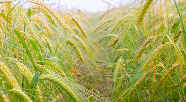Aartjes van rogge in de zomer in het veld
