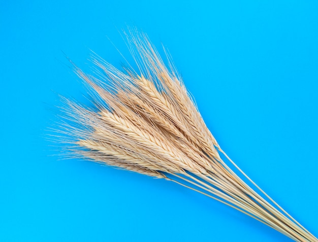 Aartjes van rogge op een blauwe achtergrond. eenvoudig plat leggen. oogst concept.