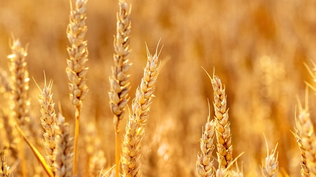 Aartjes van tarwe in het veld op een onscherpe achtergrond