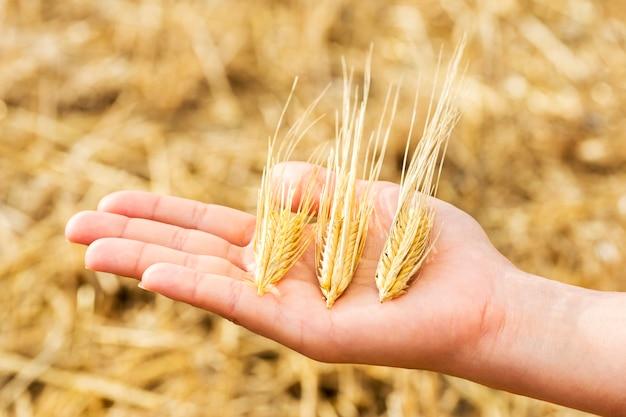 Aartjes van tarwe op de palm tijdens de oogst