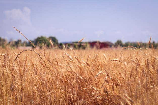 Aartjes van tarwe op een rustiek veld