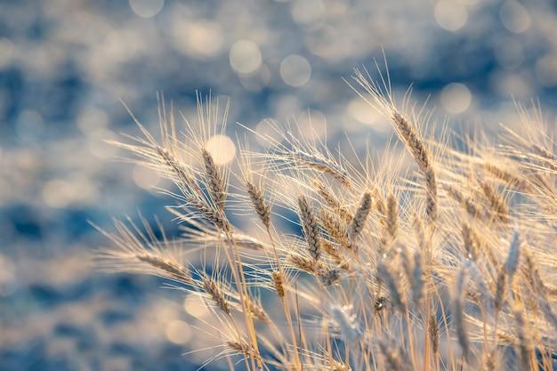 Aartjes van tarwe op het veld close-up in zonnestralen. landbouw en agro-industrie