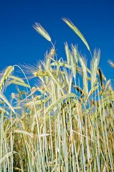 Aartjes van tarwe tegen de hemel