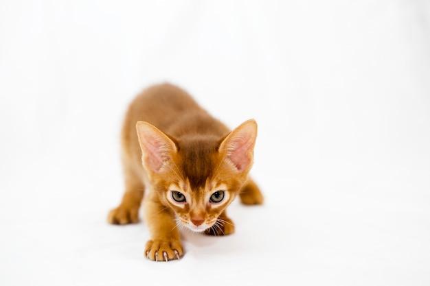 Abessijns kitten dat tijdens de jacht naar het doelwit sluipt