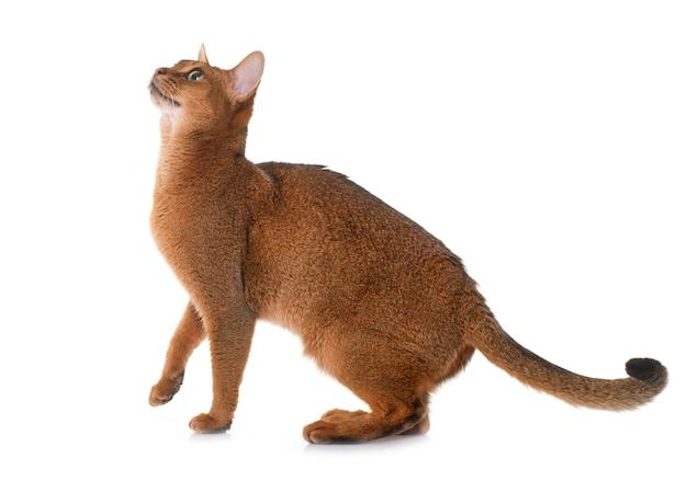 Abessijnse kat geïsoleerd
