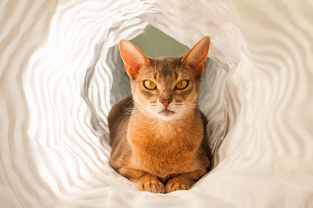 Abessijnse kat. sluit omhoog portret van blauwe abyssinian vrouwelijke kat, het zitten