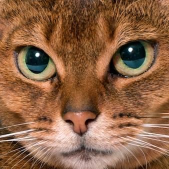 Abessijnse kat