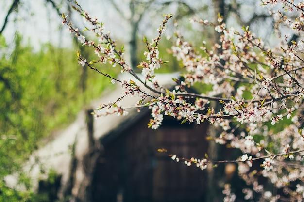 Abrikoos bloeit in volle bloei