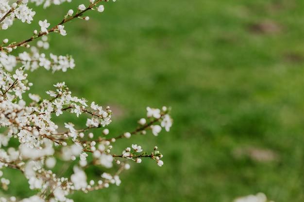 Abrikoos bloesem. frisse lente