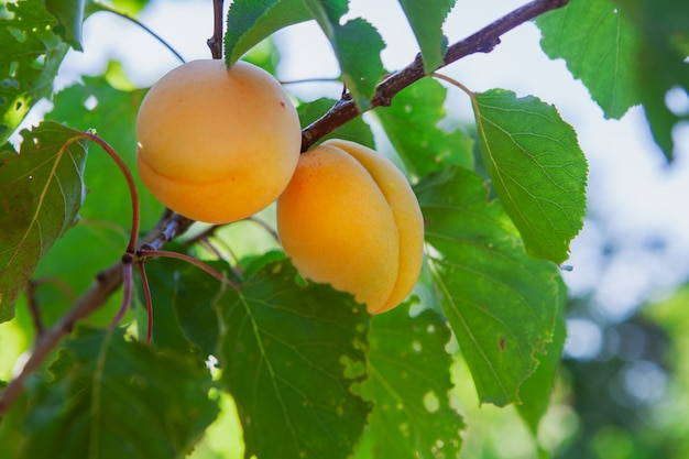 Abrikoos fruitboom met bladeren. zijaanzicht.