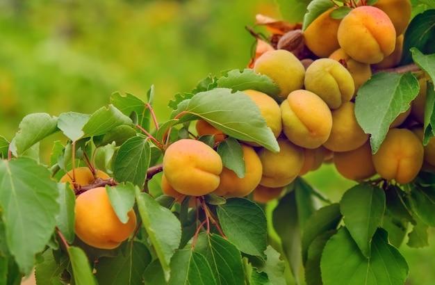 Abrikozen op een boomtak in de zomer