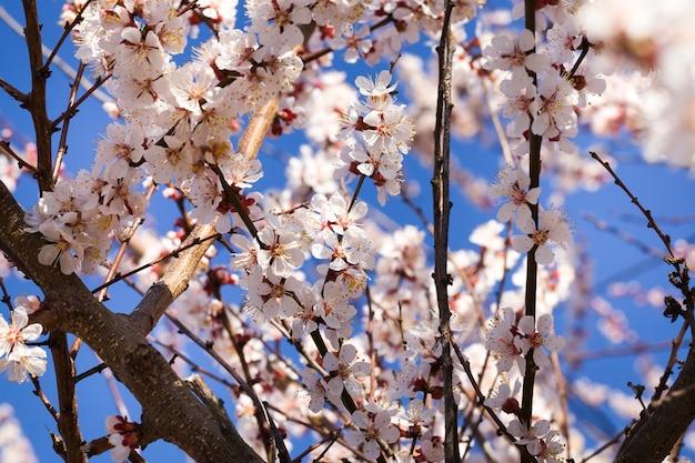 Abrikozenbloemen op fruitbomen