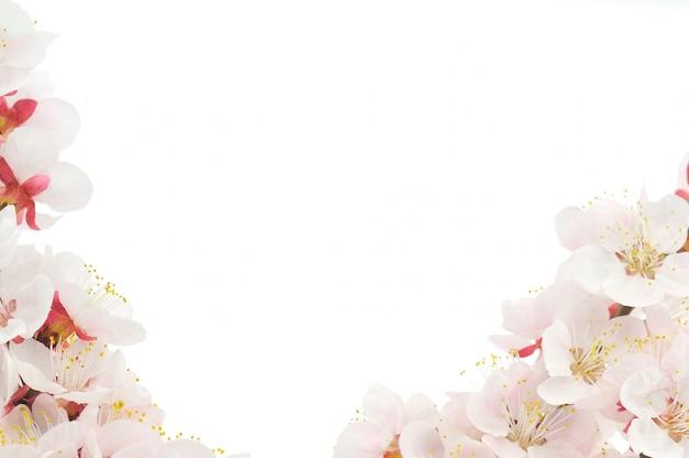 Abrikozenbloemen op witte achtergrond