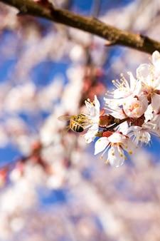 Abrikozenbloemen