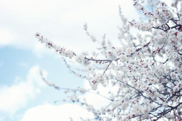 Abrikozenbloesem close-up. abrikozenboom bloem, seizoensgebonden bloemen natuur achtergrond