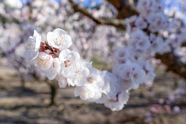 Abrikozenbloesem details, bloemen en insecten in het voorjaar