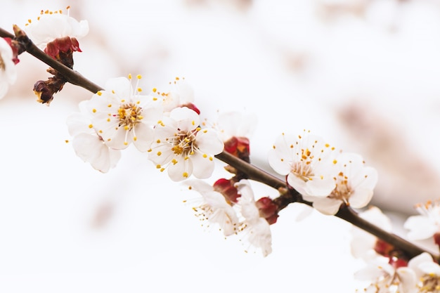 Abrikozenboom die met witte bloemen bloeien
