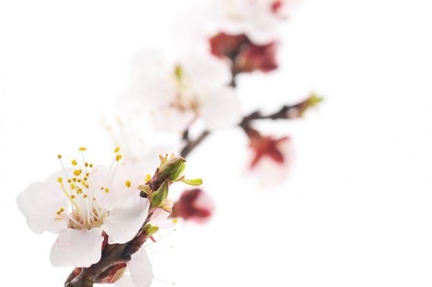 Abrikozenboomtak met mooie witte bloemen
