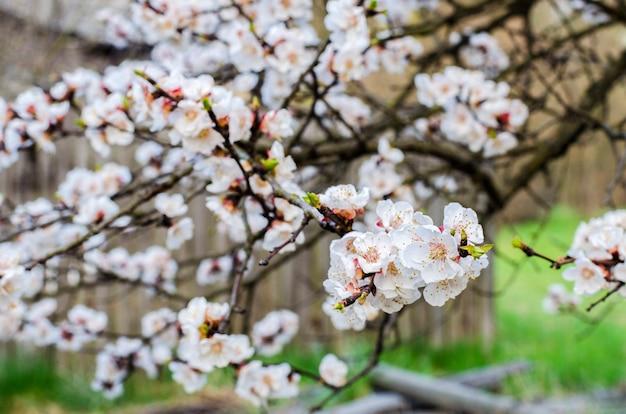 Abrikozenfruitboom die in het voorjaar bloeit