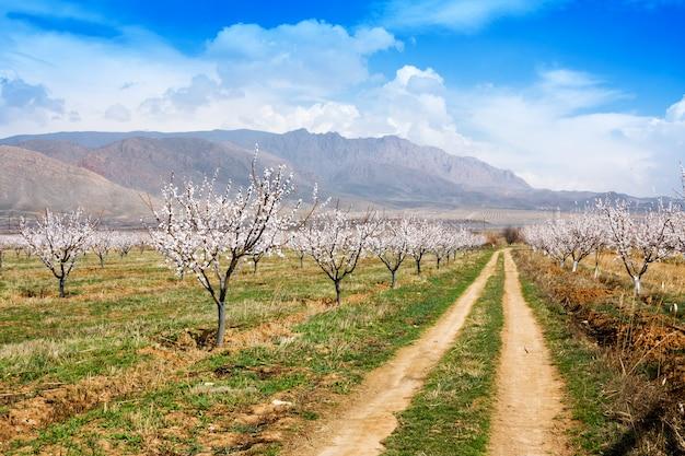 Abrikozenlandbouwbedrijf tijdens lentetijd tegen vayk-bergketen, vayots dzor-provincie