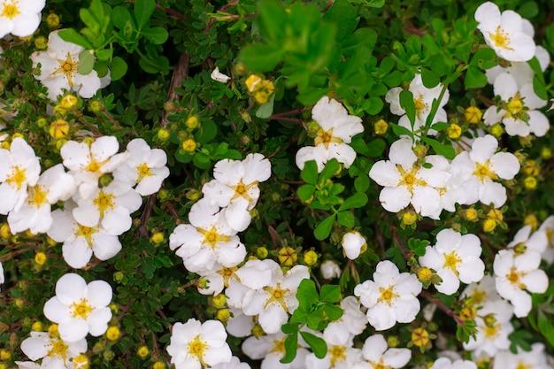 Abstracte achtergrond van kleine witte bloemen. detailopname. natuurtextuur