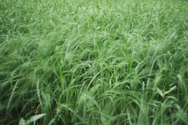 Abstracte achtergrond wazig jonge groene rijstveld.