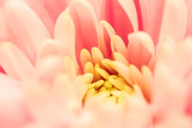 Abstracte bloemen achtergrond roze chrysant bloem macro bloemen achtergrond voor vakantie merk design