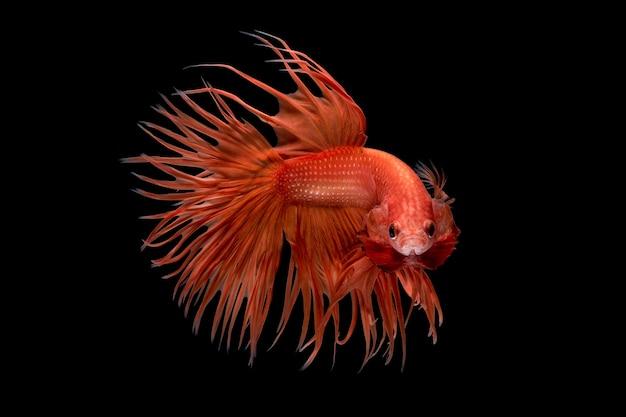 Abstracte kunstbeweging van kleurrijke betta-vissen, siamese het vechten vissen die op zwarte achtergrond worden geïsoleerd. fijn kunstontwerp.