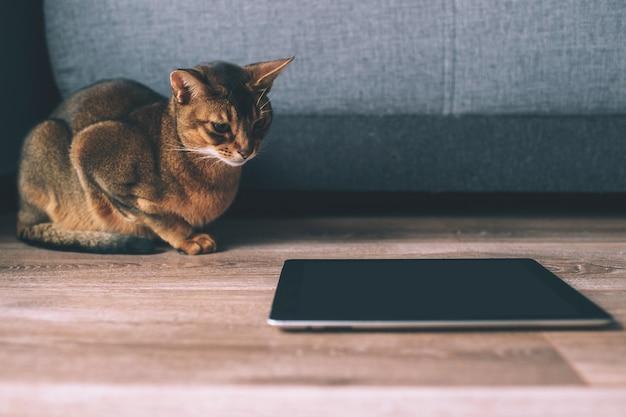 Abyssinian kat kijken op tablet-scherm. heerlijk speels kitten thuis.
