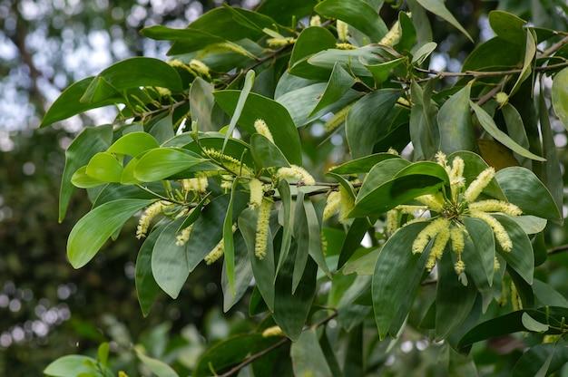 Acacia crassicarpa bloemen en groene bladeren, geselecteerde focus