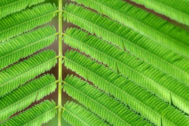 Acacia pennata of climbing wattle groene bladeren
