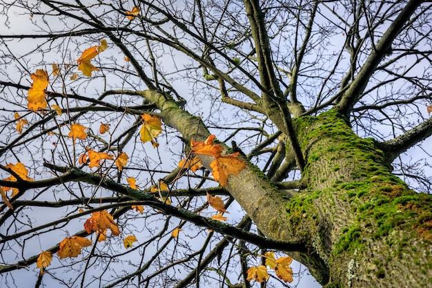 Acer-boom - acer platanoides. noorse esdoorn met een paar bladeren over in gouden kleuren, herfstseizoen