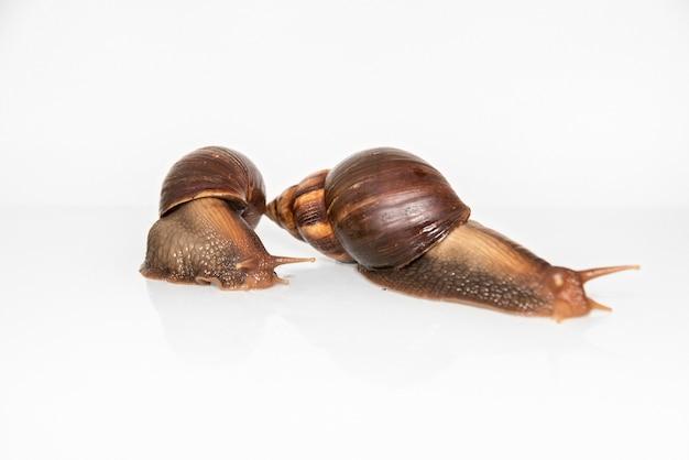 Achatina slakken geïsoleerd