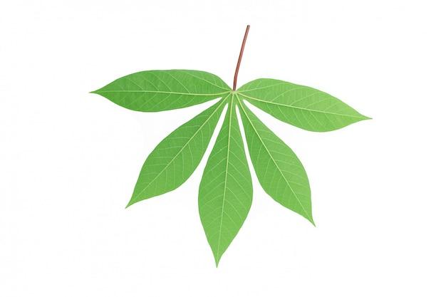 Achter maniokblad dat op witte achtergrond wordt geïsoleerd