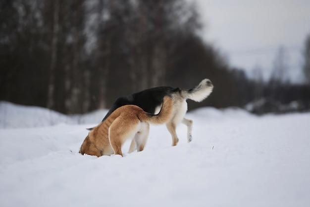 Achteraanzicht bij twee bastaardhonden die sneeuw graven en snuiven op de winterweide
