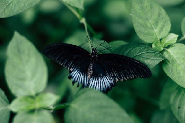 Achteraanzicht van een zwarte en blauwe vlinder op bladeren