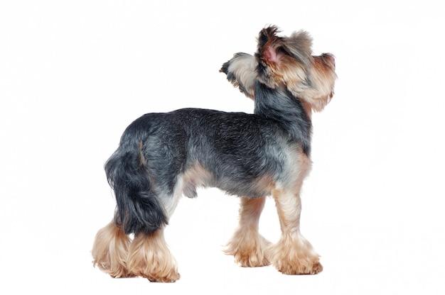 Achteraanzicht volledige lengte foto van een staande yorkshire terrier hond