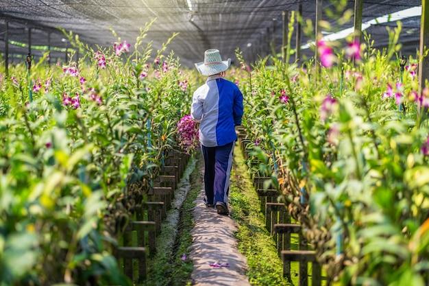 Achtereind van aziatische tuinman van orchidee het tuinieren landbouwbedrijf die en de orchideeën snijden verzamelen, de purpere kleuren in bloei in het tuinlandbouwbedrijf, purpere orchideeën in de landbouw van bangkok, thailand.